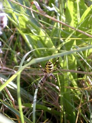 Eine Wespenspinne?