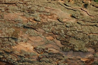 Baumrinden-Textur