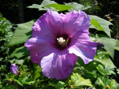 Hibiskusblüte - lila mit roter Mitte