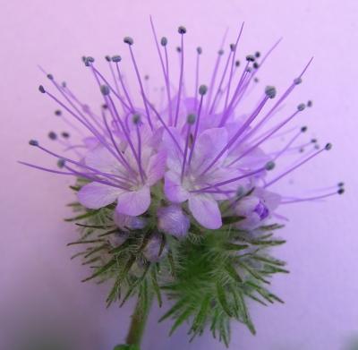 Phacelia-Blüte