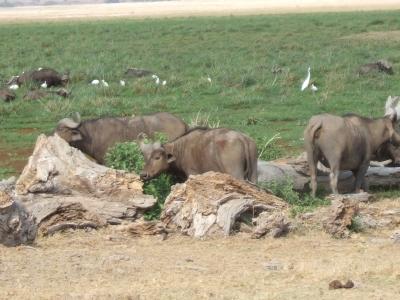 Wasserbüffel im Amboseli-Nationalpark