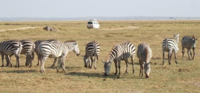 Zebras vor Kleinbus im Amboseli-Nationalpark