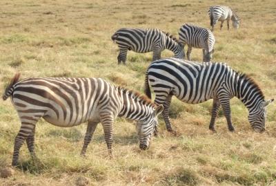 Zebras im Amboseli-Nationalpark