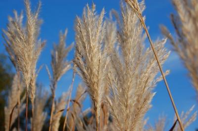 Pampasgras im Herbstwind #2