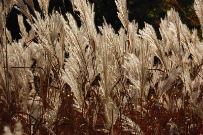 Pampasgras im Herbstwind #5