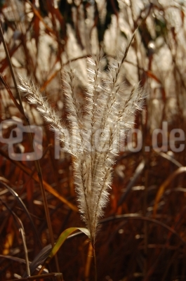Pampasgras im Herbstwind #6