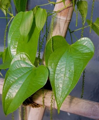 Chlorophyll satt