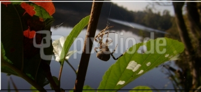 Spinne am See