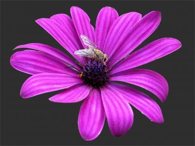 Fliege auf Kapkörbchen