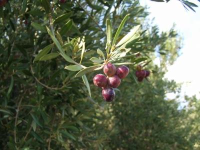 Oliven 2