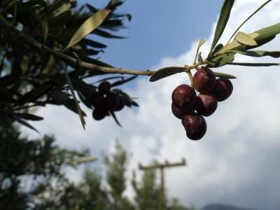 Oliven 3
