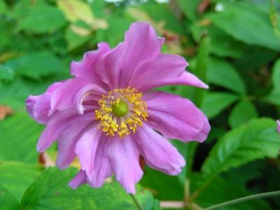 Herbstanemone - rosarot