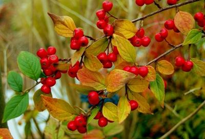 Herbst-Beeren