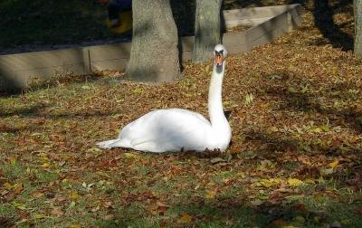 Ein weißer Schwan…(2)