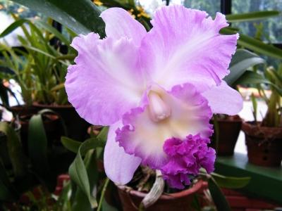 Orchidee aus dem Botanischen Garten Sri Lanka