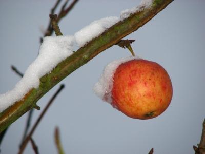Winterapfel mit Schneehäubchen