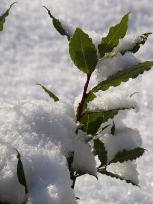 Lorbeer im Schnee
