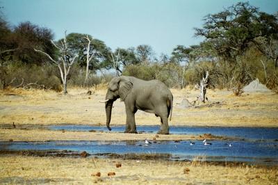 Elefant am Khwai River