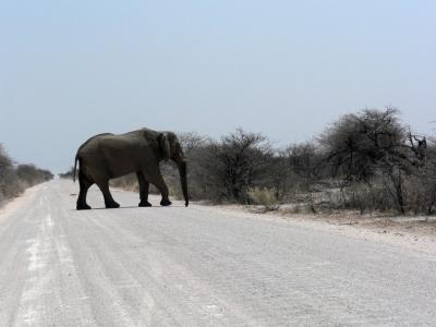 Elefant von links!