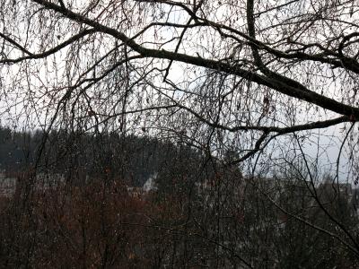 Birkenzweige mit Regentropfen