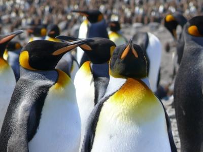 Pinguinskolonie
