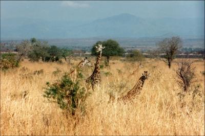 Giraffen im hohem Elefantengras