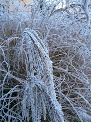 Erfrorene Gräser