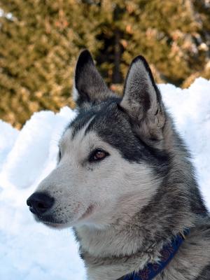 Husky Hunter