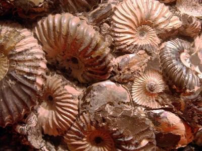 Ammoniten 1