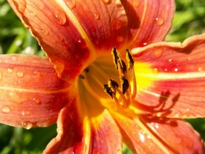 Lilie im Garten