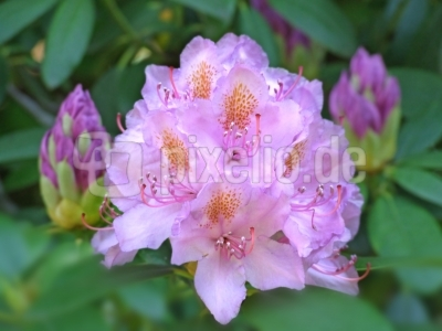 aufgeblühte Rhododendron