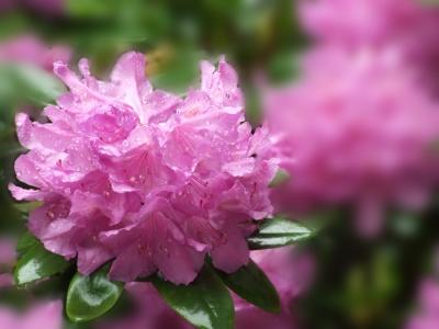 Rhododendron im Regen