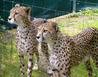 Krefelder Zoo - Geparden