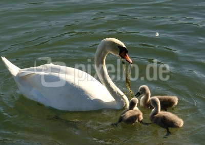 Familie weiss Schwan