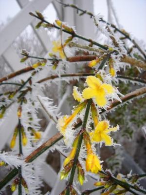 Winterjasmin_1