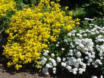 steingartenpflanzen gelb – proxyagent,