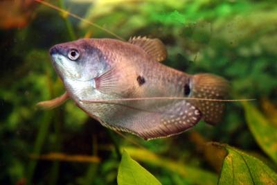 Trichogaster