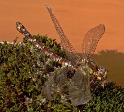Libelle (Mosaikjungfer)