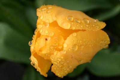 Gelbe Tulpe mit Regentropfen
