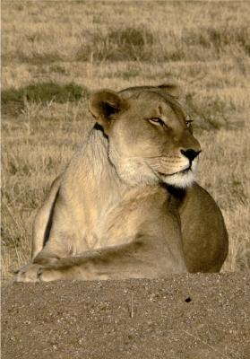 Eine Löwin im Etoscha NP