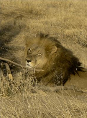 Löwe im Etoscha NP