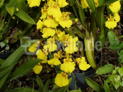 Gelbe Orchidee 1