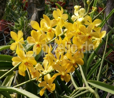 Gelbe Orchidee 2
