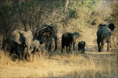 Elefanten im South Luangwa NP in Zambia