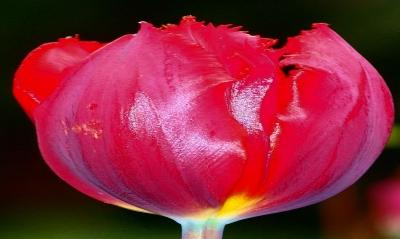Tulpe Sondermodell
