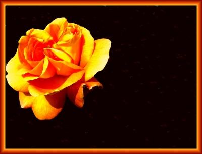Rose  in Gelb-Orange