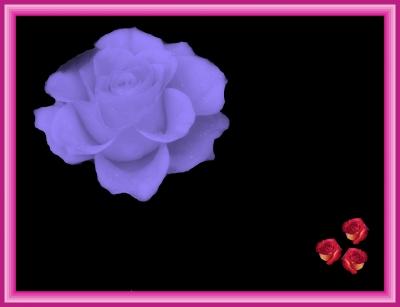 Rose in Violett