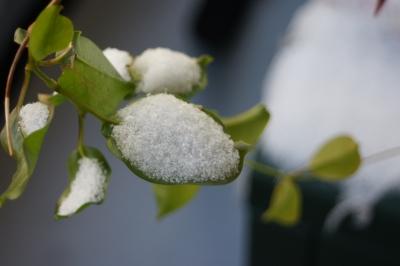 Blatt mit erstem Schnee bedeckt