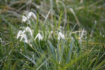 Frühlingsboten im Fläming