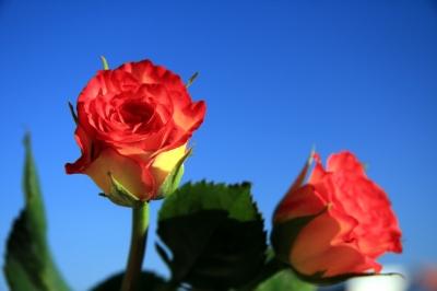 Himmelsblau und Rosen